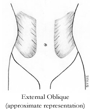 Illustration of External Oblique muscle