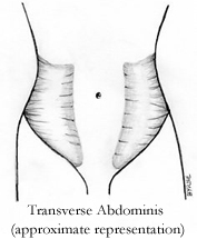 Illustration of Transverse Abdominis muscle